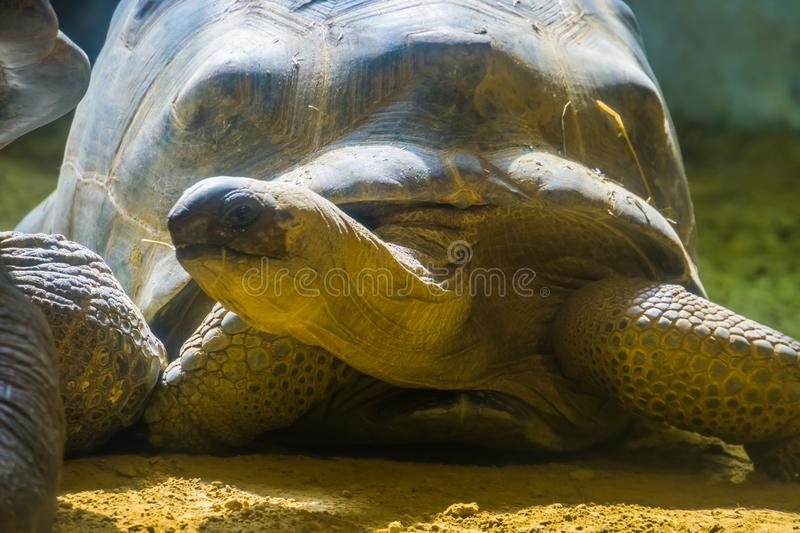 Aldabra giant tortoise with its head in closeup, land dwelling turtles, Vulnerable animal specie from madagascar. A aldabra giant tortoise with its head in royalty free stock photography