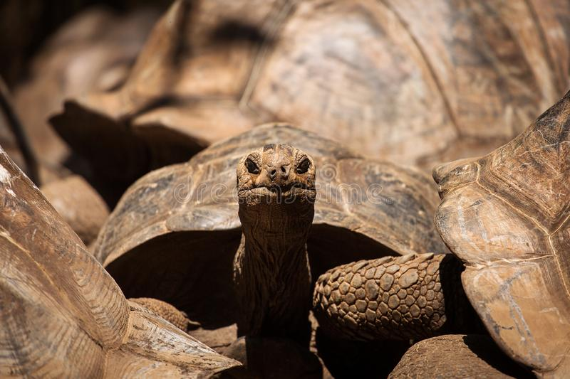 An Aldabra giant tortoise looks out from its shell on Prison Isl. And off Zanzibar, Tanzania royalty free stock photo