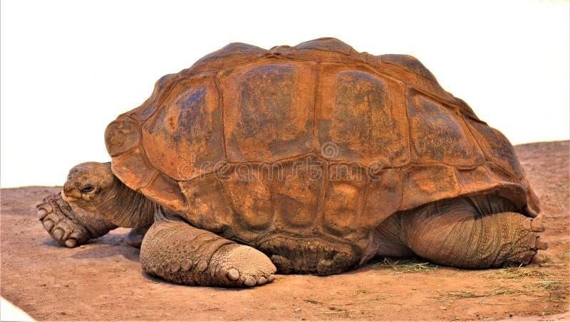 Aldabra Giant Tortoise, Phoenix Zoo, Arizona Center for Nature Conservation, Phoenix, Arizona, United States. Close up of a mature Aldabra Giant Tortoise royalty free stock photography