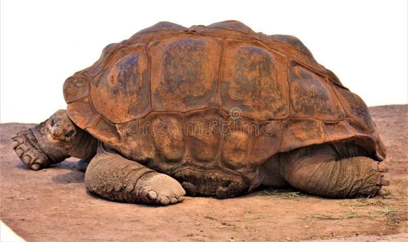 Aldabra Giant Tortoise, Phoenix Zoo, Arizona Center for Nature Conservation, Phoenix, Arizona, United States stock image