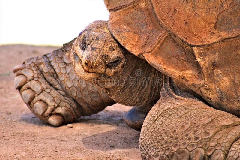 Aldabra Giant Tortoise, Phoenix Zoo, Arizona Center for Nature Conservation, Phoenix, Arizona, United States. Close up of a mature Aldabra Giant Tortoise stock photo