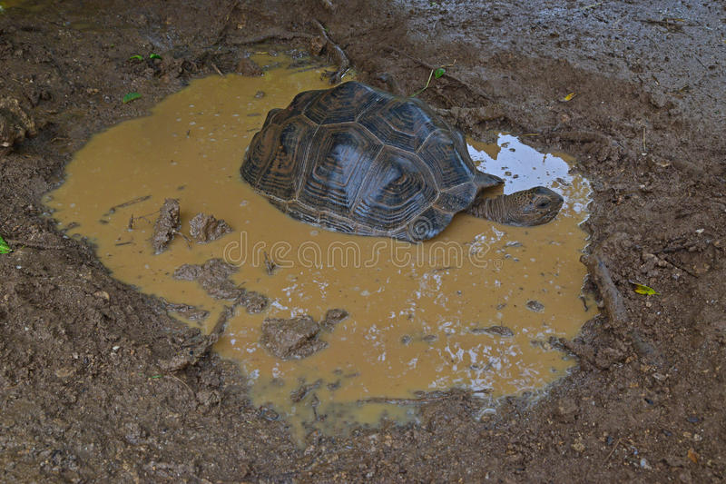 An Aldabra giant tortoise soaking in a puddle of water after a heavy rain royalty free stock image