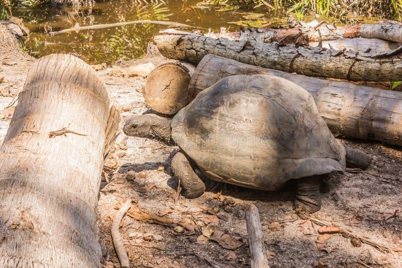 Aldabra giant tortoise, Turtle on the beach. In Seychelles royalty free stock photos