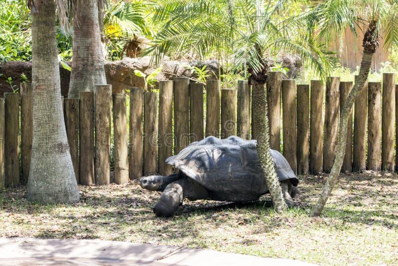 Aldabra Giant Tortoise Under Trees royalty free stock photo