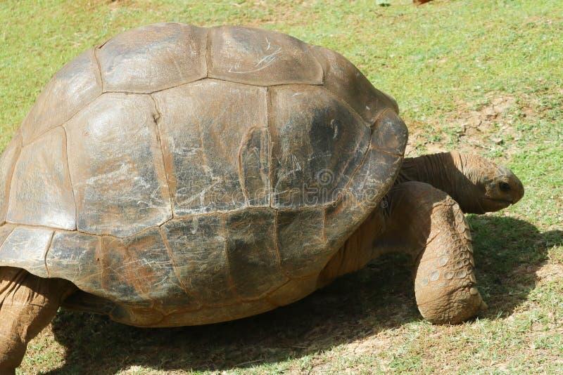 Aldabra gigantycznego tortoise Aldabrachelys gigantea jest wielkimi tortoises zdjęcia royalty free