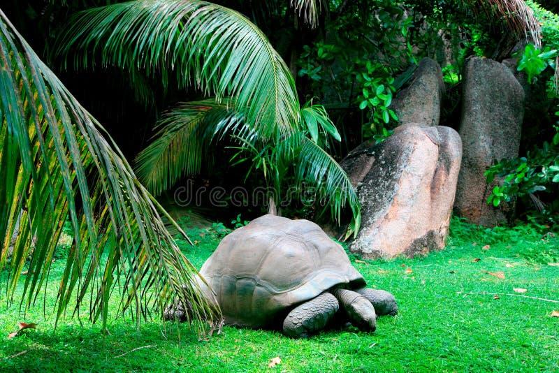 Aldabra jätte- sköldpadda, stora Soeur, inre öar, Seychellerna arkivbild