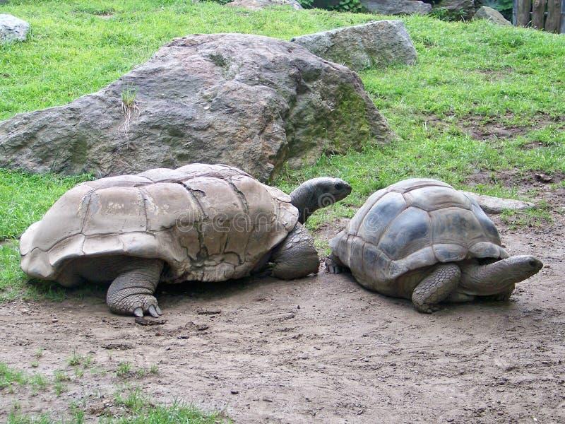 Aldabra jätte- sköldpaddor arkivfoton