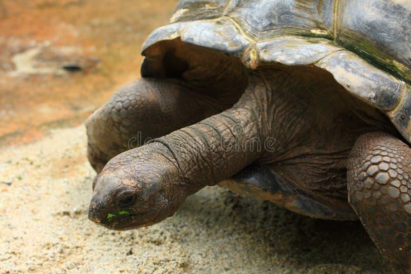 Aldabra riesige Schildkröte stockfotos