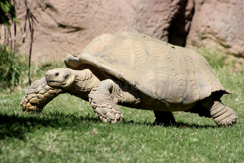 Aldabra riesige Schildkröte stockfoto