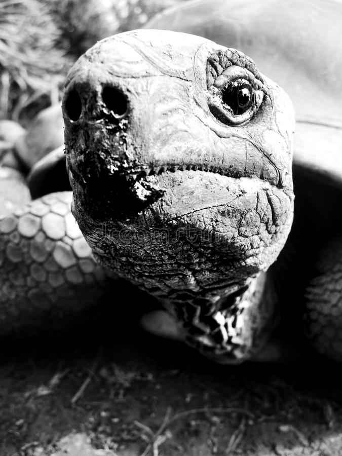 Aldabra tortoise in black and white - close up stock photos