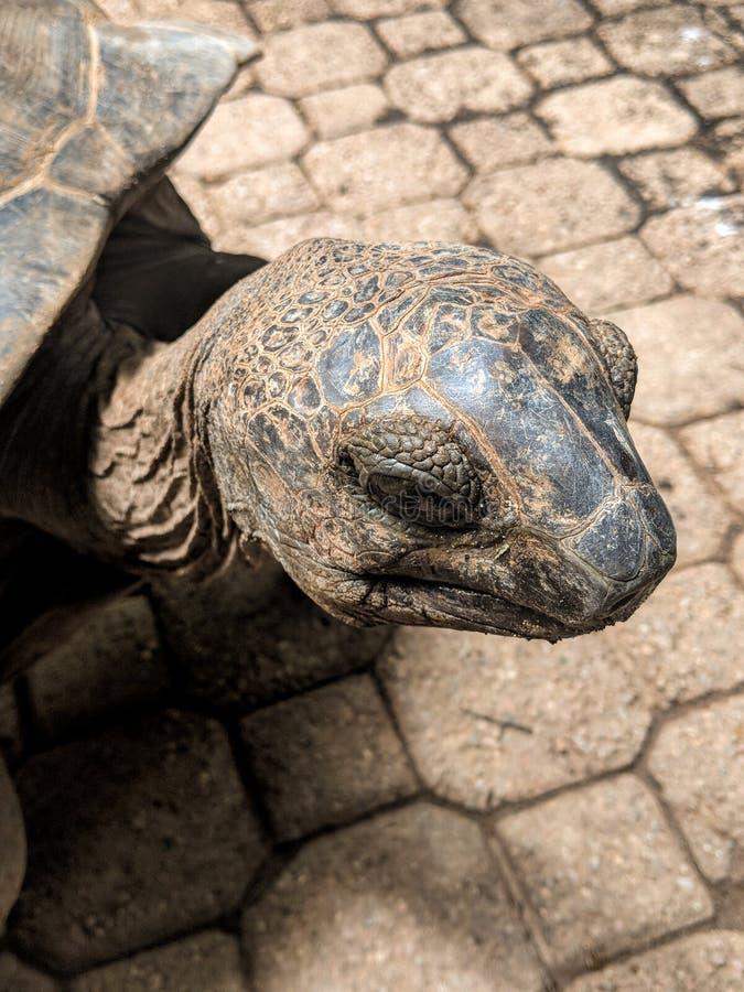 Aldabra tortoise closeup on Ile Moyenne, Seychelles stock image