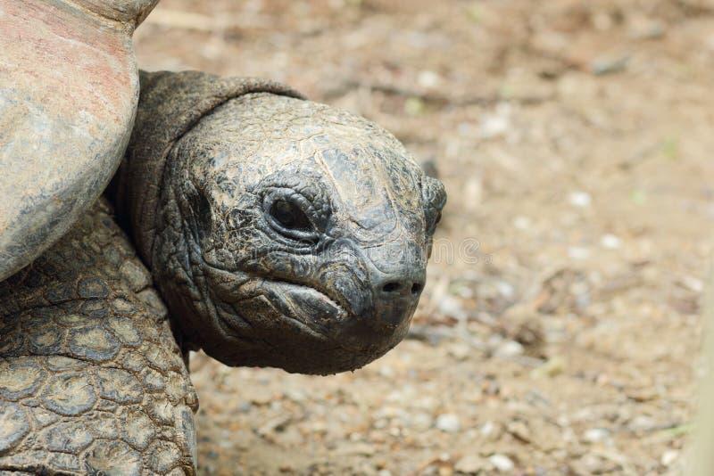 Download Aldabra Tortoise stock photo. Image of ugly, looking - 31475268