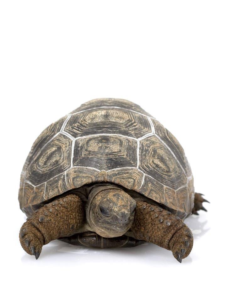 aldabrajättesköldpadda royaltyfri bild