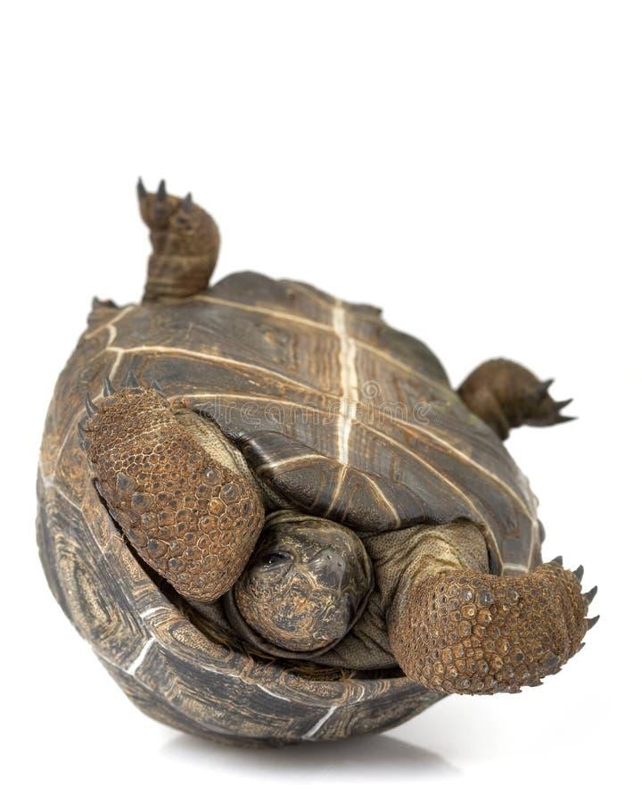 aldabrajättesköldpadda royaltyfri fotografi