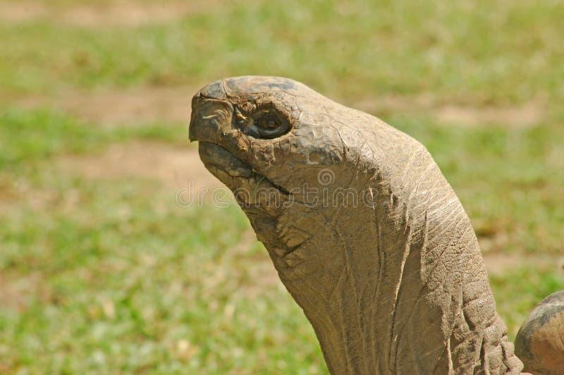 Aldabran tortoise fotografia stock