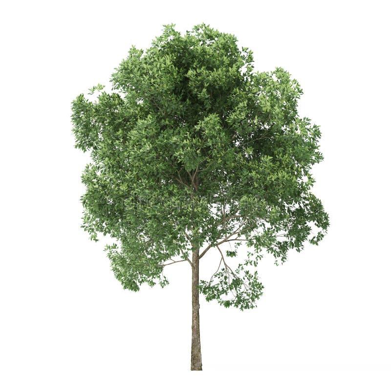 alder Árvore isolada no fundo branco fotos de stock royalty free