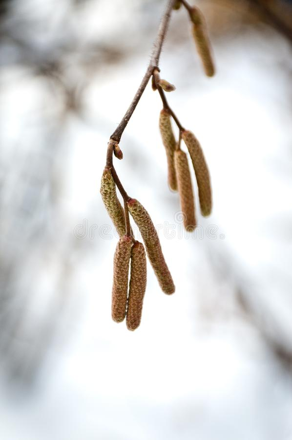 Alder branch. With seeds close stock image