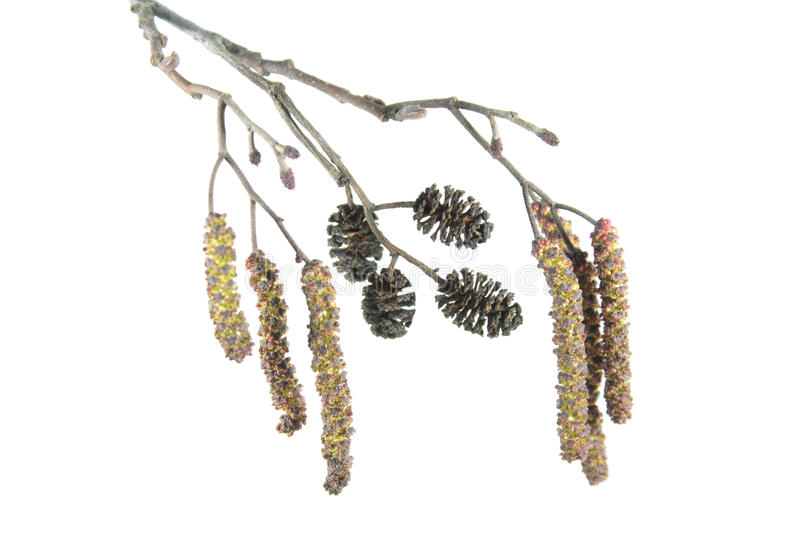 Alder branch with catkins isolated on white background. Branch of black alder Alnus glutinosa with male inflorescence and mature cones stock photos