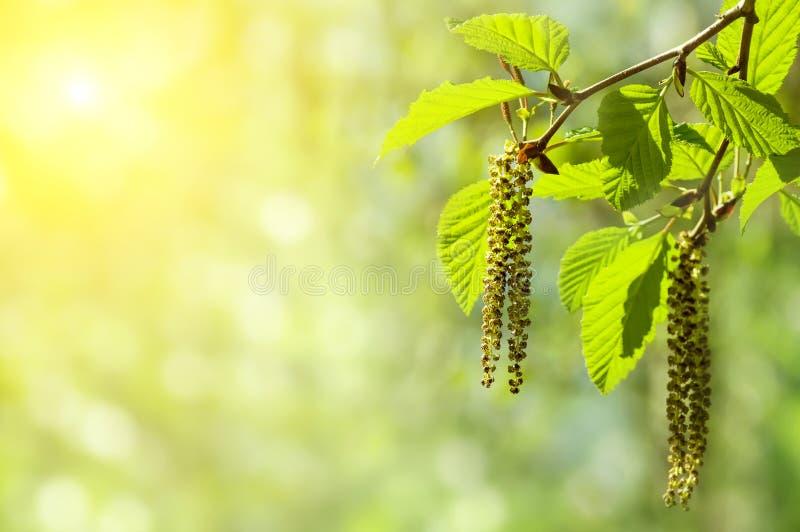 Alder branch with catkins. Spring background with branch with catkins of alder royalty free stock image