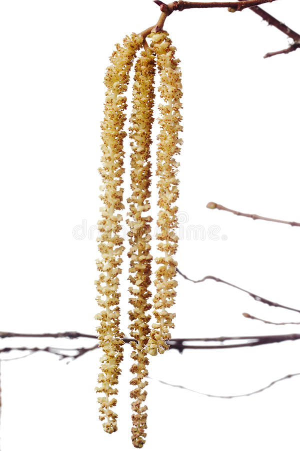 Branch an alder. Alder branch with catkins. The spring season stock images