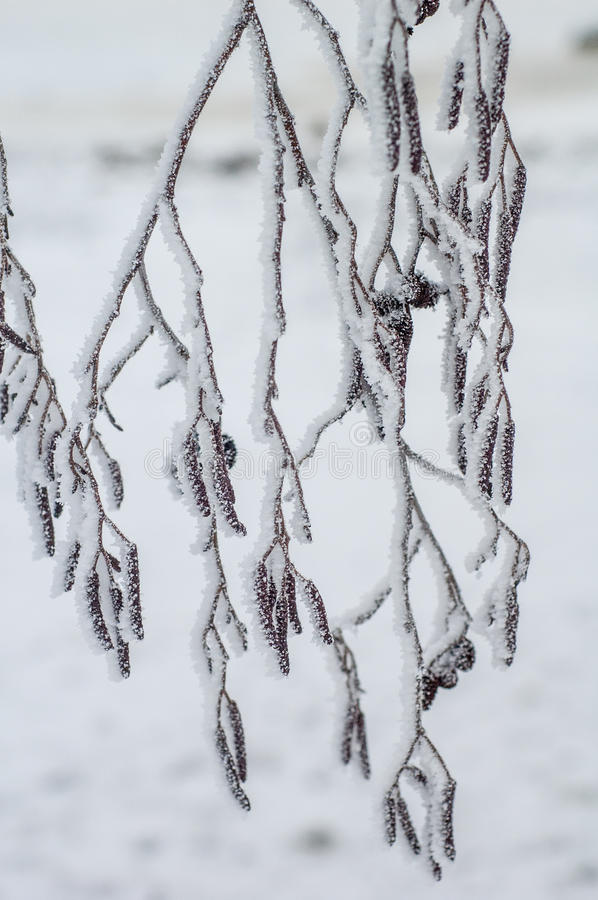 Alder branches covered with frost. Close-up royalty free stock images