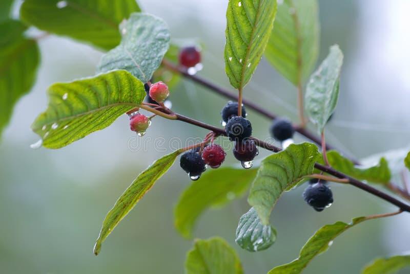Alder buckthorn. The alder buckthorn berries over blue background stock photo