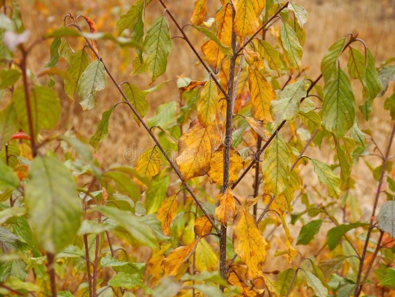 Alder buckthorn. In autumn colors stock photography