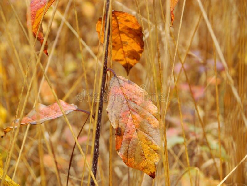 Alder buckthorn. In autumn colors stock photos