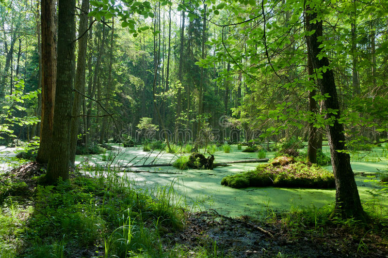 Alder-carr stand with standing water. Natural alder-carr stand of Bialowieza Forest with standing water and Common Duckweed on surface royalty free stock photo