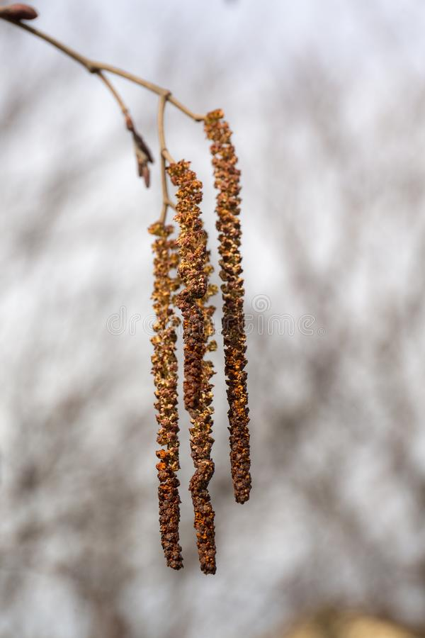 Alder catkin in the foreground. Alder catkin in the spring in the foreground closeup royalty free stock images