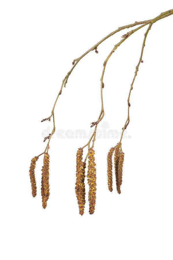 Alder catkins. Isolated on a white background royalty free stock image