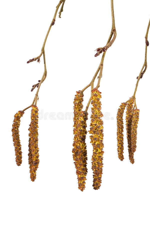 Alder catkins. Isolated on a white background stock image