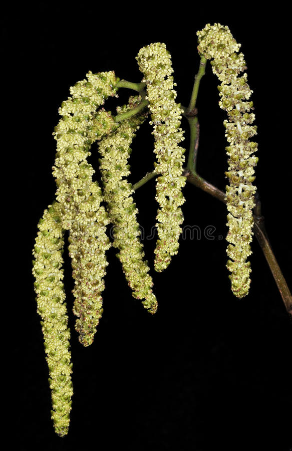 Alder Catkins. Alnus glutinosa Against black background royalty free stock photos