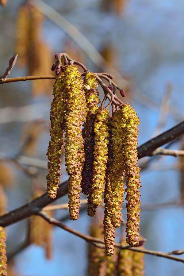Alder catkins closeup. Spring background. Spring. Alder catkins (lat. Alnus) close up stock photo