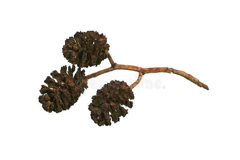 Alder cones stock image