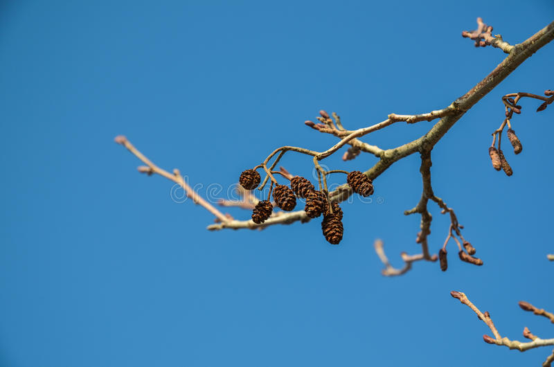 Alder cones. At twigs and a blue sky in early springtime stock photo