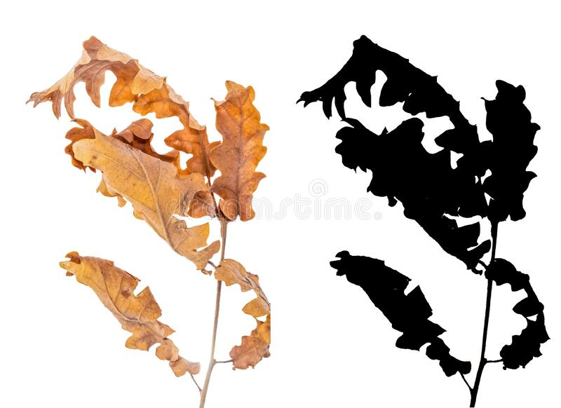 Alder dried leaves isolated on white background with black alpha mask. Alder branch with dry leaves isolated on white background with black alpha mask. Alnus royalty free stock photo