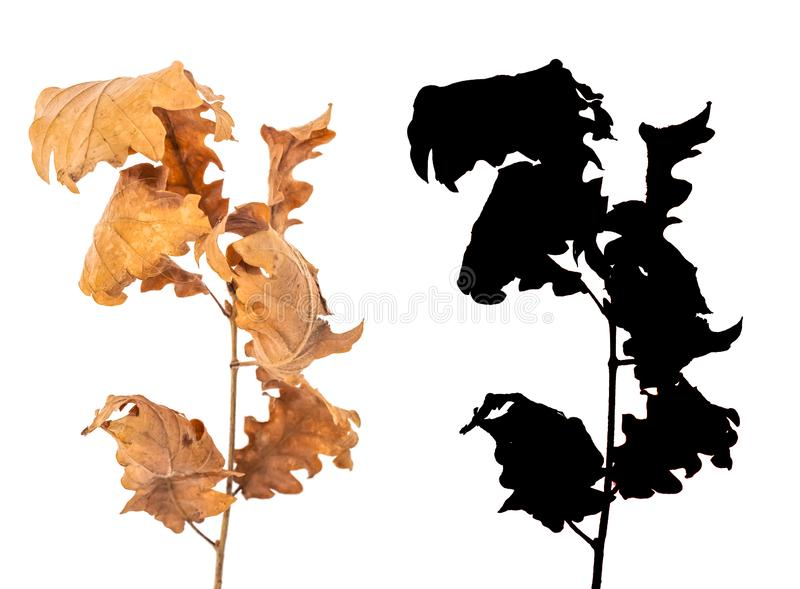 Alder dried leaves isolated on white background with black alpha mask. Alder branch with dry leaves isolated on white background with black alpha mask. Alnus royalty free stock image