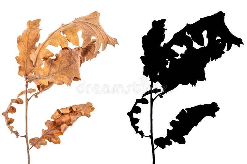 Alder dried leaves isolated on white background with black alpha mask. Branch of alder tree with dry leaves isolated on white background with black alpha mask royalty free stock photos