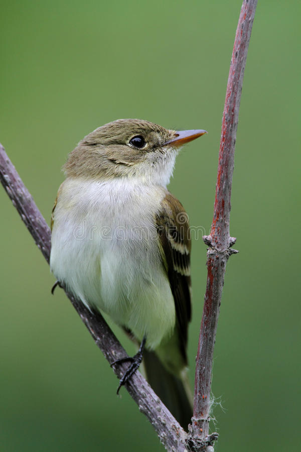 Alder Flycatcher. On an open perch royalty free stock photos