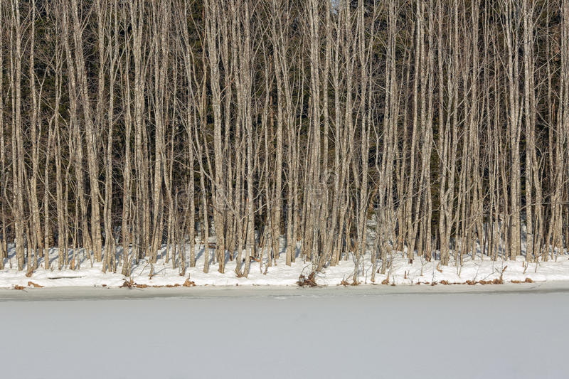 Alder forest. On the bank of frozen river stock photos