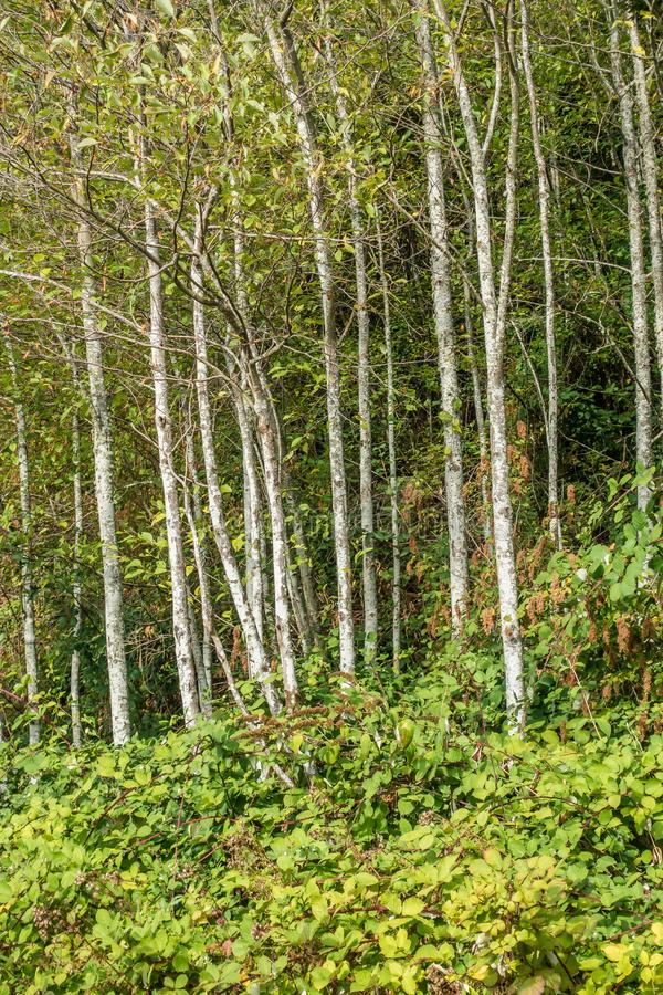 Alder Grove. A view of Alder trees in the Pacific Northwest stock photo