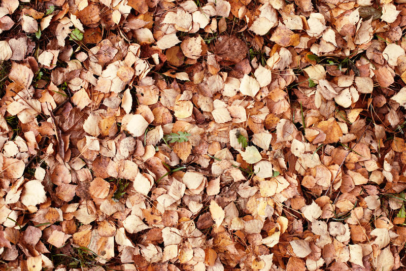 Alder leaf litter on the ground. Pattern closeup royalty free stock photo