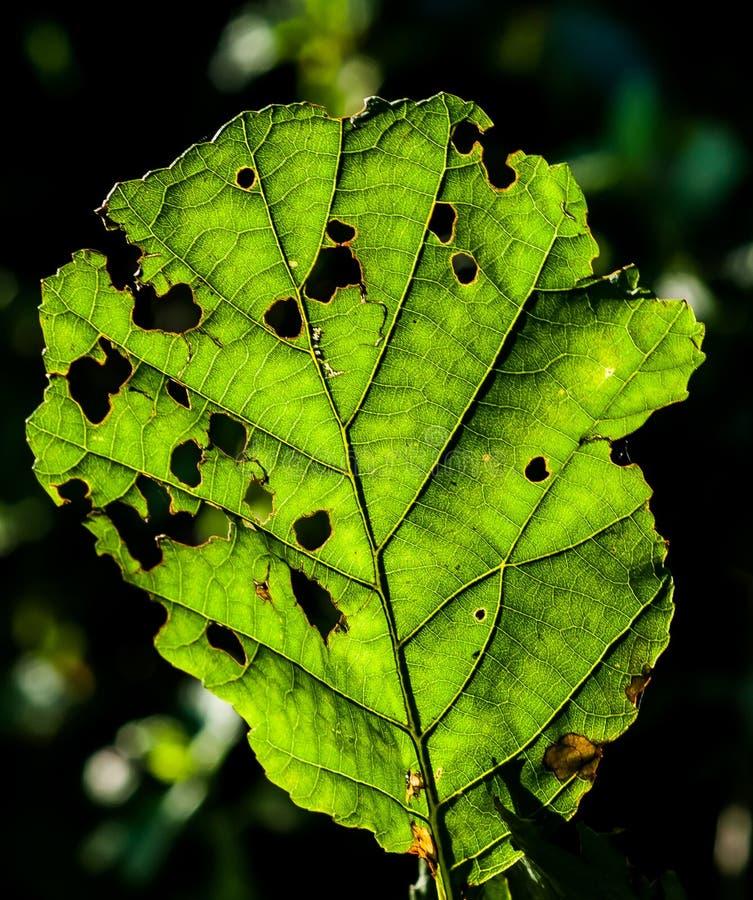 Alder leaf under attack. Alder leaf (Alnus glutinosa) backlit showing signs of insect attack stock image