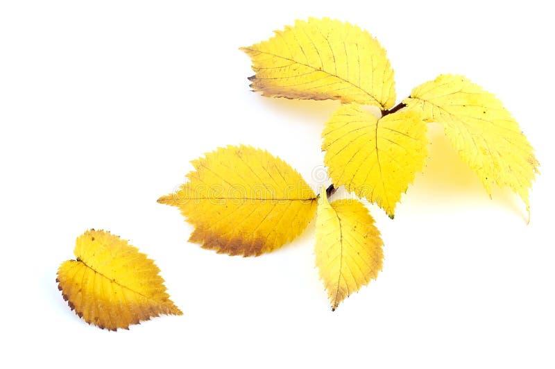 Alder leaves. Alder autumn leaves on a white background royalty free stock image