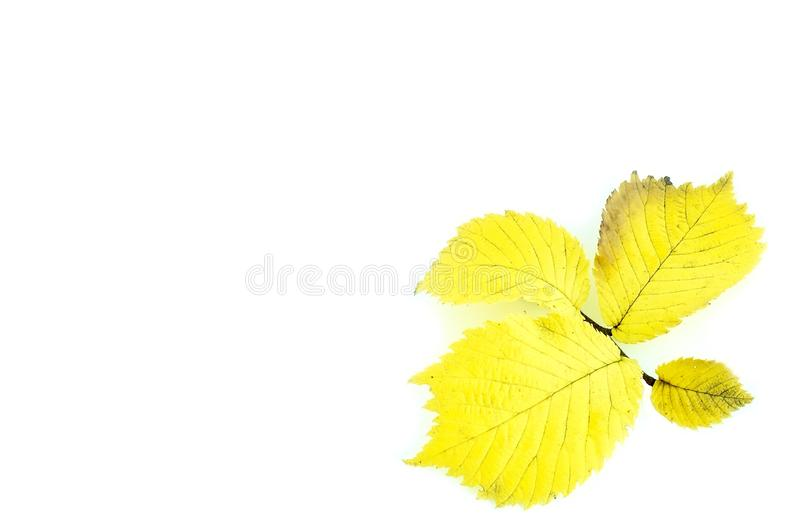 Alder leaves. Alder autumn leaves on a white background stock photo