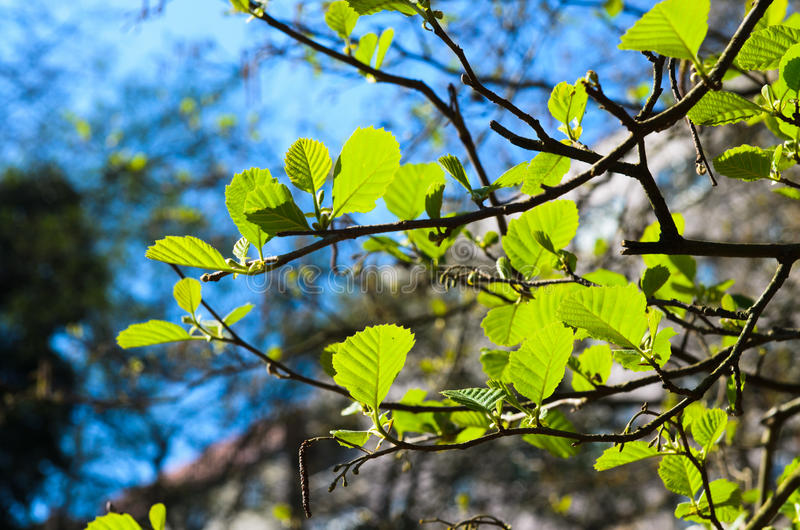 Alder leaves. With backlit illuminated stock photos