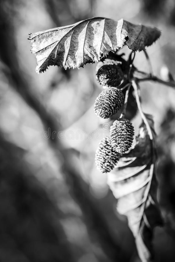 Alder Leaves and Cones macro. Macro close up of Alder leaves and cones in fall in black and white stock photography