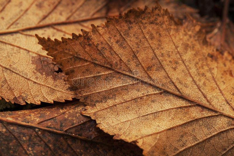 Alder Leaves in Fall royalty free stock images