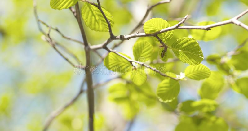 Alder leaves in spring morning closeup. Wide photo royalty free stock photo